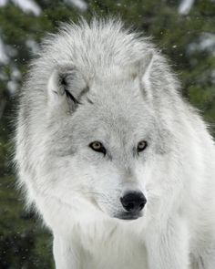 ..Winter Wolf II by ~Canislupuscorax..