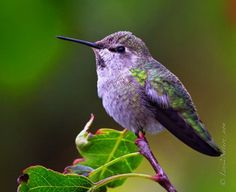 Lavendar Hummingbird