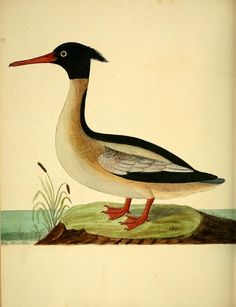 A natural history of birds : illustrated with a hundred and one copper plates, curiously engraven from the life /  By Albin, Eleazar, fl. 1713-1759-   Derham, W. (William), 1657-1735