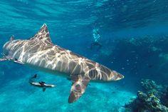 Schnorcheln mit Haien Fiji