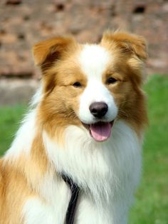 hi everyone, has anybody ee red? - Page 2 - General Border Collie ...