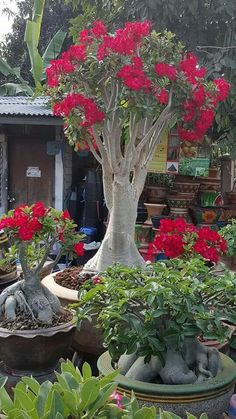 Adenium somalense Anaconda Wisteria Bonsai, Bonsai Plants, Bonsai Garden, Cactus Plants, Garden Plants, Plantas Bonsai, Tropical Garden, Tropical Plants, Container Plants