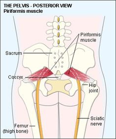 Muscles of the Pelvis Anatomy Diagram #human #body #health