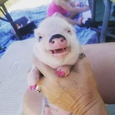 Feeding of lovely popular and funny pigs - Gloria Love Pets Pigs Eating, Cute Animals Images, Small Pigs, Funny Pigs, Mini Pigs, Pet Pigs, Favorite Subject, Love Pet, Mammals