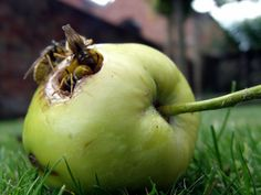 Hornets, yellow jackets, and all wasps are generally beneficial predatory insects. Unfortunately, wasps on fruit pose a bit of a danger, so keeping wasps away from fruit trees is important. Learn more here.