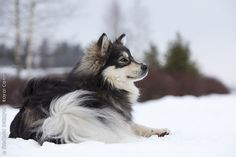 Finnish Lapphund. looks so much like the one we used to have! such a pretty doggie!