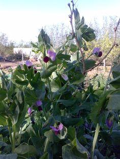 Flor de pèsol #pagesos #primavera