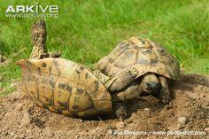 Male Hermann's tortoises fighting