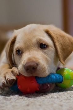 Cute little yellow lab puppy More