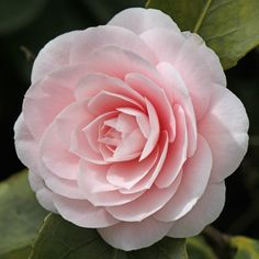 Camellia 'Ave Maria' - for Miriam Anna
