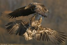 Playfighting in the sky: Juvenile white-tailed sea eagles grapple mid-flight as they hover over Hungary's Kiskunsag National Park
