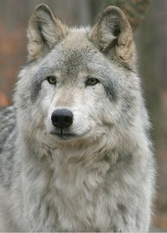 Canadian timber wolf Wild Side t Timber wolf Wolf and Beautiful Wolves, Animals Beautiful, Cute Animals, Wild Animals, Baby Animals, Wolf Photos, Wolf Pictures, Wolf Spirit, My Spirit Animal