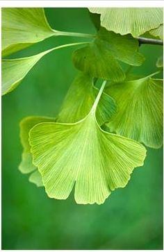 Ginkgo Biloba maidenhair tree #leaves