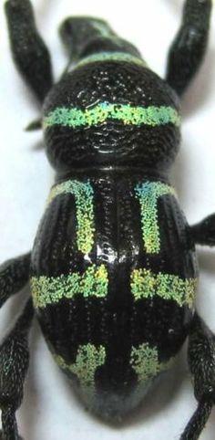 Metapocyrtus Negrosensis Male Lite Green 13 5mm