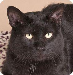 Chicago, IL - Domestic Mediumhair. Meet Becker, a cat for adoption…
