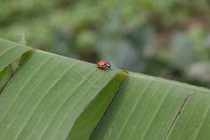 A joaninha - símbolo da agroecologia e do controle natural de pragas - ela se alimenta de pulgões! na horta orgânica do Sitio do Moinho.