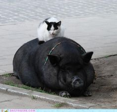 cat on pot bellied pig