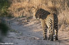 Awesome click of male leopard by Mike pepe on wildlife photographers community http://photos.wildfact.com/image/60/are-you-still-there Join to share your own