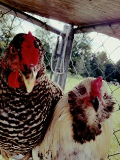 New profile pic of sweetie (rooster) and speckles  (hen )