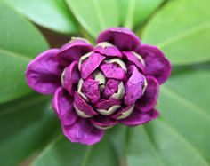 #bloom #bud #close up #flora #flower #macro #plant #purple #rhododendron