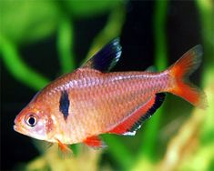 Serpae tetra - A beautiful, small fish for the freshwater aquarium. They now come also in long fined types. Best to have a school of at least 5 of them. Neon Tetra, Tetra Fish, Tropical Fish Aquarium, Freshwater Aquarium Fish, Fish Aquariums, Aquarium Shop, Planted Aquarium, Fishing World, Beautiful Fish