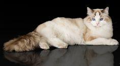 El Hogar de los Ragdolls en Colombia Animals, Factory Farming, Colombia, Pets, Gatos, Home, Animales, Animaux, Animal