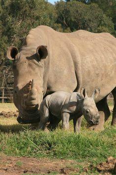 Filhote de rino parece miniatura ao lado da mãe gigante e vira atração principal…