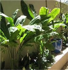 Ciclantus (mapuá o planta-papel): Suas folhas possuem de 1 a 1,80 m de altura são ideais para formar corredores verdes. Pode ser usado em vasos ou canteiro, sempre a meia-sombra, em terra rica úmida.