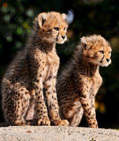 Proud sitting cheetah cubs (by Tambako the Jaguar)