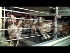 """British Egg Week: Animal Aid Investigation Reveals 'Cruelty' Endured By Egg-Laying Hens: This week marks British Egg Week, but the """"cruelty"""" endured by caged chickens is still going largely ignored, a leading animal rights organisation has said. #vegan"""