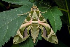 Daphnis nerii (formerly Deilephila nerii), known as the Oleander Hawk-moth Or Army Green Moth, is a moth of the Sphingidae family. Photographed by Helo Mu Mu