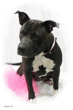 ***SUPER URGENT!!!*** - PLEASE SAVE ME!! - EU DATE: 7/30/2014 -- sasha Breed: Pit Bull Terrier Age: Adult Gender: Female Size: Medium, - For more information please email the shelter at ashelter@emporia-kansas.gov