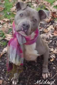 Mildred Pit Bull Terrier Mix • Young • Female • Medium Mahoning County Dog Pound & Adoption Center Youngstown, OH