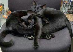 Black cat cuddle pile.