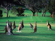 Anglesea Golf course, obviously somewhere in Australia. Gee, how do the golfers manage?