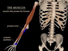 pronation and supination of the forearm - YouTube Decent animation of radius & ulna movement