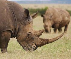 White Rhino (by maqsmughal) #rhinoceros #rhino #topanimals