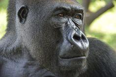 """""""Μία ματιά που δεν μπορεί ποτέ να ξεχαστεί"""". Έτσι αρχίζει - και όντως έτσι είναι- η σύντομη περιγραφή της φωτογραφίας ενός γορίλα στα δυτικά του Καμερούν, στο εθνικό πάρκο της περιοχής, όπου συγκεντρώνονται διάφορα είδη άγριων ζώων,"""