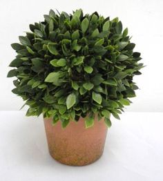 Michaels.com Wedding Department: Ashland™ Classic Traditions Collection Potted Boxwood This Potted Boxwood from the Classic Traditions Collection is ideal for the do-it-yourself wedding, shower or luncheon.
