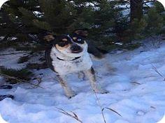 Frisco, CO - Australian Shepherd/Australian Cattle Dog Mix. Meet ROSCOE, a dog for adoption. http://www.adoptapet.com/pet/14578421-frisco-colorado-australian-shepherd-mix