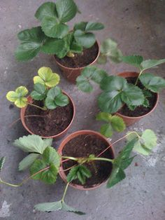 Potted Strawberry Runners 2011