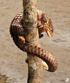 Pangolin Lizard