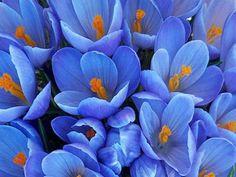 flores azules con estambres amarillos