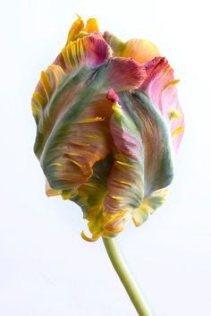 Floral Still Life Photograph  Parrot Tulip    Borderless fine art photograph of a Parrot Tulip, printed on beautiful premium quality archival