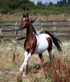Tri Color Paint Horses For Sale