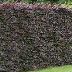 fagus sylvatica purpurea hedge - Google Search