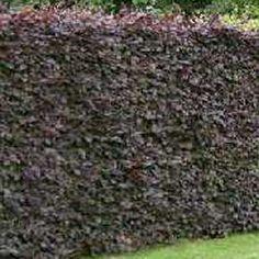 fagus sylvatica purpurea - purple beech hedge
