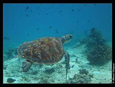 Toples in the Sea Bali   Turtle in the bali sea