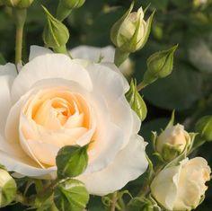 (Rosen Tantau 2017) Bei Blüten der Martin Luther Rose®öffnen sich in einem zarten  Apricot , um später weiß zu erstraheln. Sie blühen im Überfluss und leuchten im Kontrast zu derm frischen Grün der dichten Belaubung. Durch die...