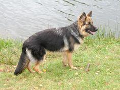 Oudduitse herder Eshna 9 maanden oud